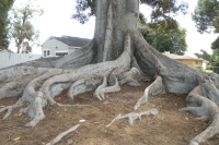 Moreton Bay Fig